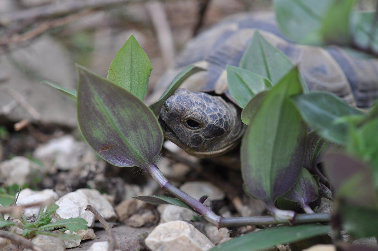 Schildkröte und Goliwoog